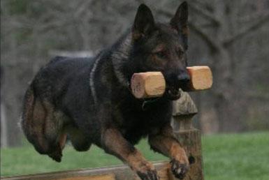 Schutzhund Dog Training